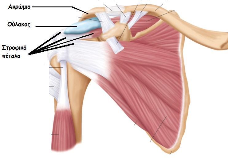 Πόνος στον ώμο - Ρήξη στροφικού πετάλου ώμου - patrasortho
